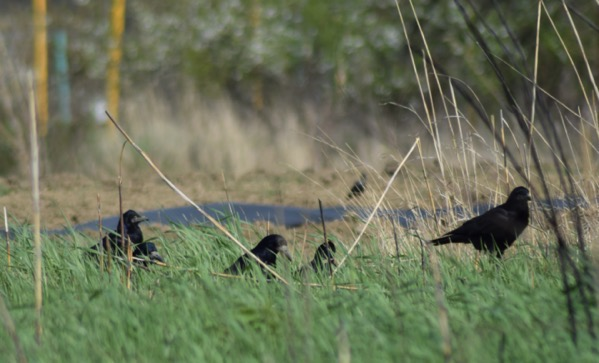 image of a family of crows